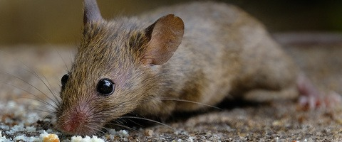 House mouse feeding on crumbs